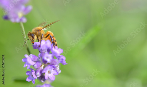 Papier Peint - close on a honey bee on a lavender flower on green background